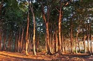 The trees growing along Radhanagar Beach in Havelock create a wonderful boundary for the beach.